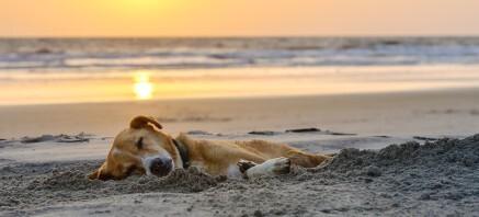Schlafender hund strand sunset fot116185722 437